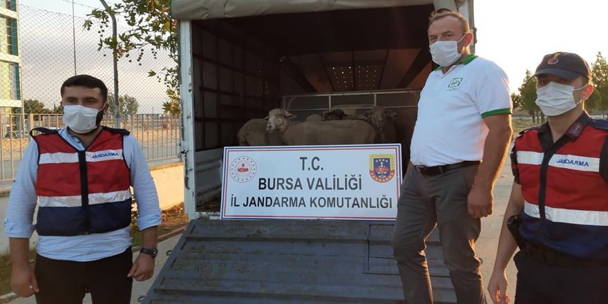 Bursa'daçalınan koyunlarjandarma tarafından bulundu