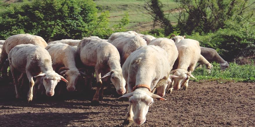 Bursa'daki Kıvırcık Koyun Üreticilerinden Ekonomiye Önemli Katkı
