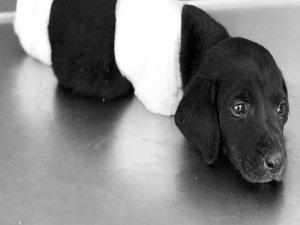Sakarya Sapanca'da 4 Ayağı Kesilen Köpek Hayatını Kaybetti