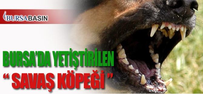 Bursa'da Tarihte Savaş Köpeği Olarak Kullanılan Tibet Mastif'i Yetiştiriliyor